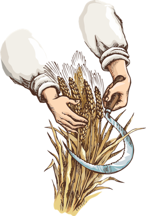 hands cutting grain with a sickle